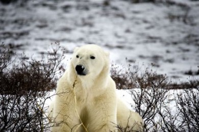 1.000 Polarbären streunen vor Wintereinbruch durch Churchills Tundra und warten darauf, dass die Hudson Bay zufriert. Dann geht